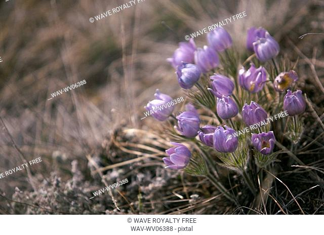 Crocuses genus Crocus is a flowering plant and one of the first to emerge out of a Canadian winter, this bunch of prairie crocus was photographed in the hills...
