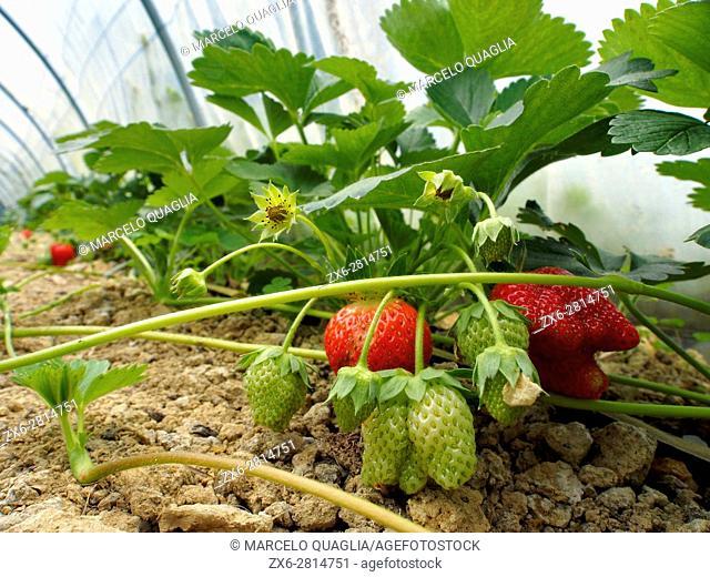 Strawberries inside greenhouse. Patxikobaso organic farmhouse. Irrueta countryside. Durango district. Bizkaia province. Euskadi. Spain