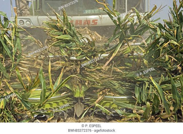 Indian corn, maize (Zea mays), Harvest, Belgium, East Flanders, Heurne