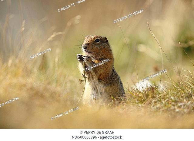 Arctic Ground Squirrel (Spermophilus parryii) standing in grass,eating vegetation, United States, Alaska, Denali National Park and Preserve