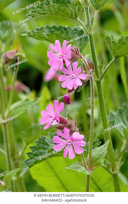 Red Campion, Silene dioica, Wales