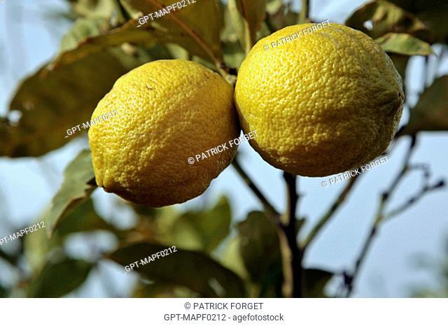 LEMON TREE, TERRE D'AMANAR, TAHANAOUTE, AL HAOUZ, MOROCCO