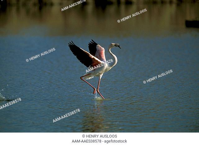 Greater Flamingo (Phoenicopterus ruber), Camargue, France