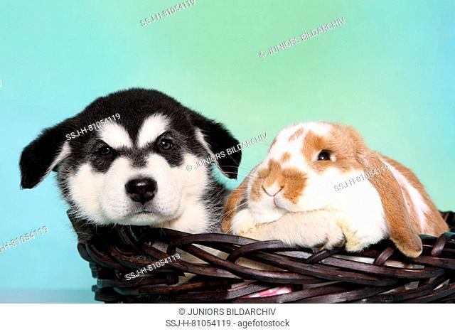 Alaskan Malamute. Puppy (6 weeks old) and Mini Lop bunny in a basket. Studio picture, seen against a light blue background. Germany