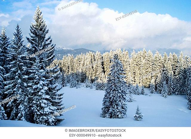 Snow covered firs at Steinplatte mount. Tyrol, Austria