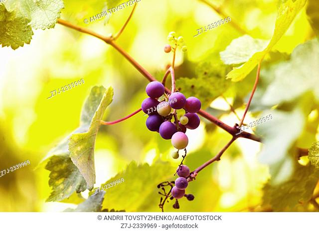 Blue bunch of grapes on yellow blurred background