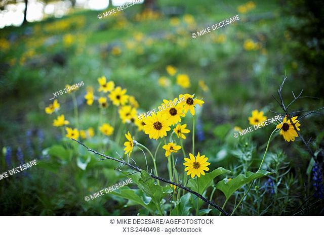 Wild flowers in early morning light in western Montana