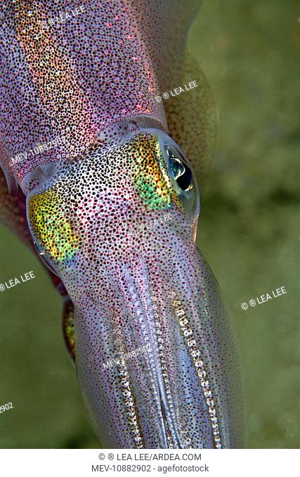 Bigfin Reef Squid (Sepioteuthis lessoniana). Indonesia