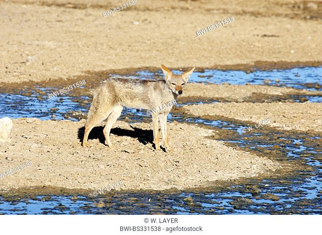 black-backed jackal (Canis mesomelas), standing at a watercourse running dry, South Africa, Kgalagadi Transfrontier National Park