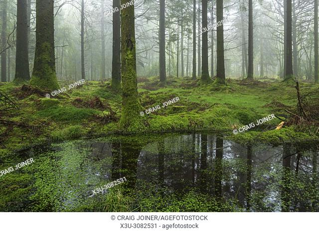 A small pond in Stockhill Wood surrounded by conifers on the Mendip Hills, Somerset, England