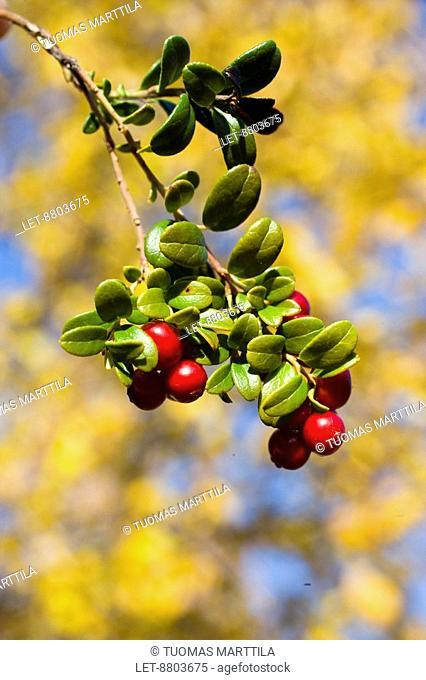 Lingonberry Vaccinium vitis-idaea and autumn leaves