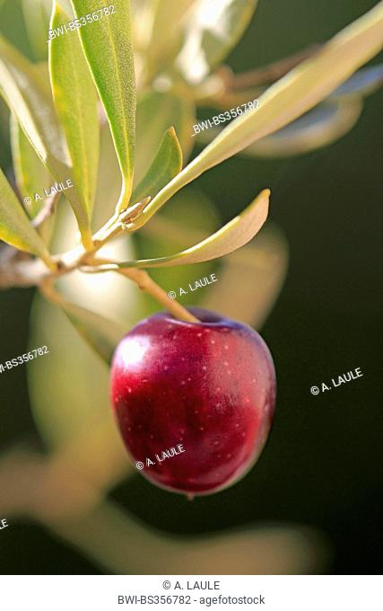 olive tree (Olea europaea), olive in a branch