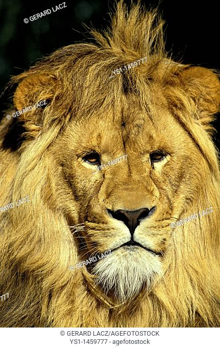 AFRICAN LION panthera leo, PORTRAIT OF MALE