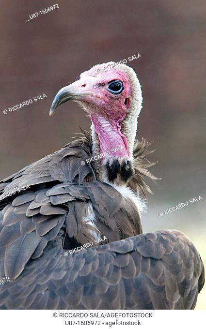Vulture, Capocavaio Pileato, Necrosyrtes Monachus, in captivity