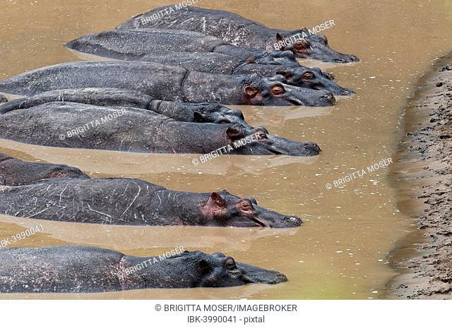 Hippopotamuses (Hippopotamus amphibius) lying next to each other in the water, Olare Orok river, Maasai Mara National Reserve