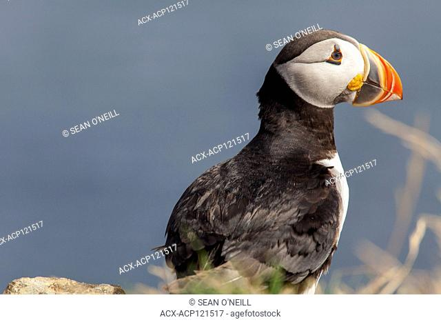 Atlantic puffin in Maberly,Newfoundland, Canada