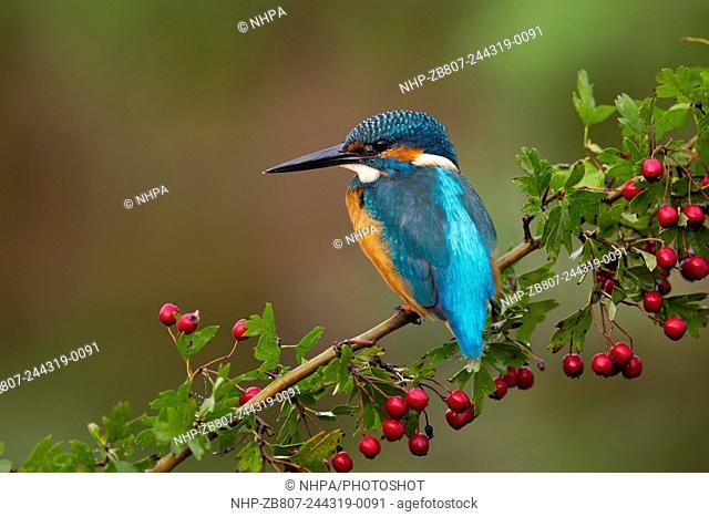 Kingfisher; Alcedo atthis; on Hawthorn; UK