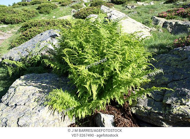 Lady fern (Athyrium filix-femina) is a fern native to Northern Hemisphere. At the bottom Rhododendron ferrugineum. This photo was taken in Andorra