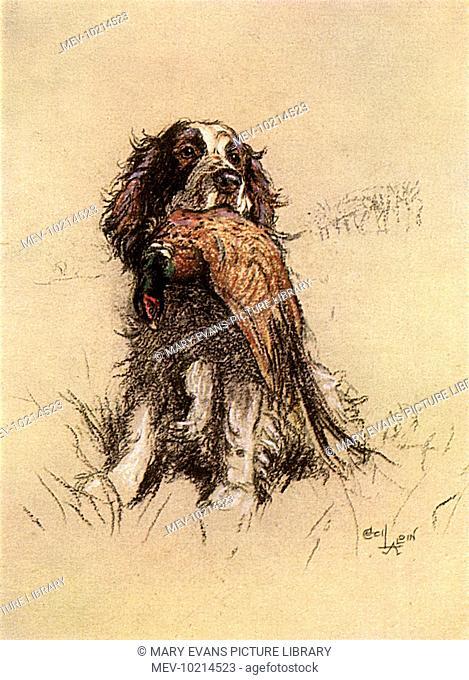 A Springer Spaniel with retrieved pheasant
