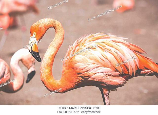 The pink Caribbean flamingo ( Phoenicopterus ruber ruber ) goes on water. Pink flamingo goes on a swamp