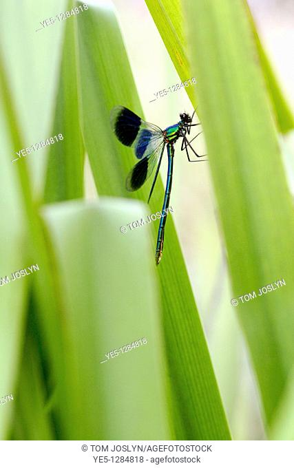 Banded Demoiselle Calopteryx splendens on reeds England , UK