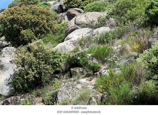 Mediterranean shrublands in Guadarrama Mountains, La Cabrera, Madrid, Spain
