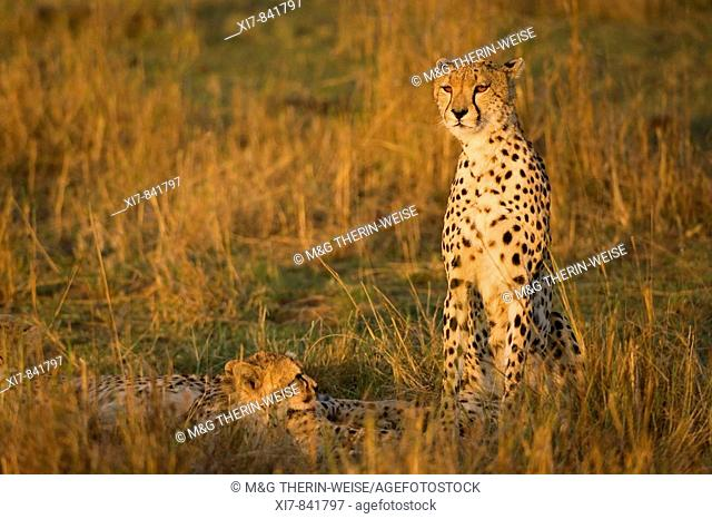 Cheetah and young, Acinonyx jubatus, Masai Mara, Kenya, Africa