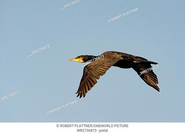 United Kingdom, Scotland, Highland, Fortrose, Chanonry Point, Black Isle, A bird in flight, Shag Phalacrocorax Aristatelis, single bird in flight