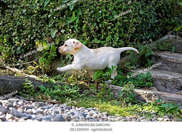 Labrador Retriever. Puppy (8 weeks old) jumping down a garden staircase. Germany