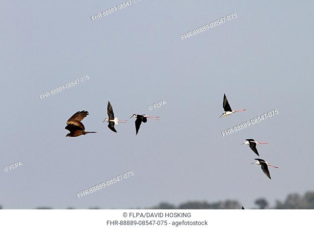 Black winged Stilts chase a Black Kite which has taken one of there chicks Coto Donana, Spain