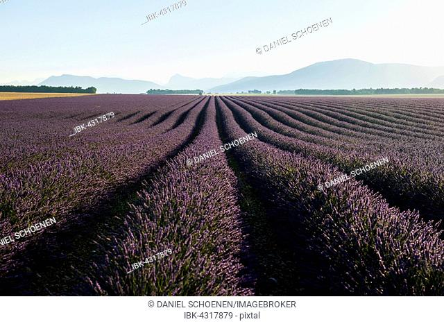 Blooming lavender field (Lavandula angustifolia), Plateau of Valensole, near Valensole, Provence-Alpes-Côte d'Azur, France