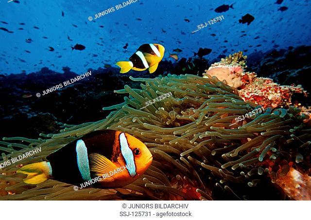 Clark's anemonefish, Amphiprion clarkii, Maldives Islands, Indian ocean, Ari Atol, Atoll