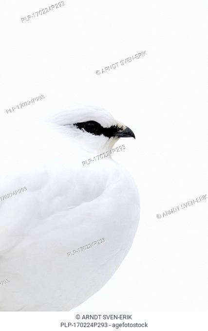 Rock ptarmigan (Lagopus muta / Lagopus mutus) female in winter plumage, close up portrait