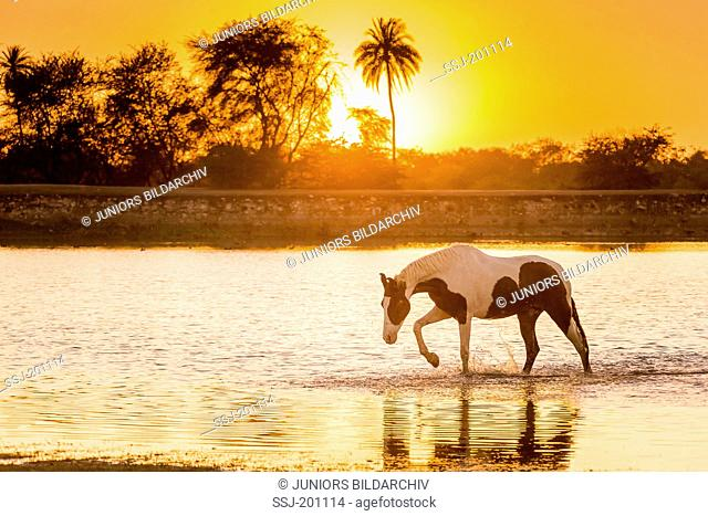 Marwari Horse. Skewbald adult walking in a lake at sunset. Rajasthan, India