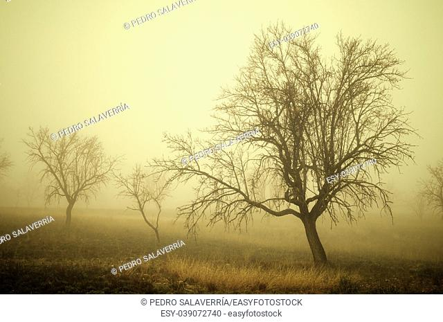 bare trees in the fog, Zaragoza province, Aragon, Spain
