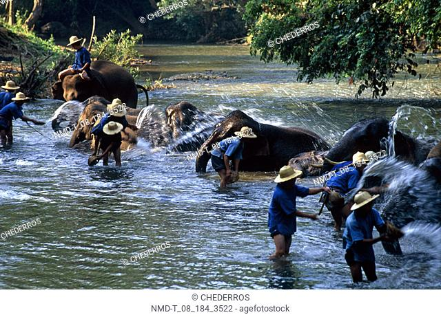 High angle view of elephant handlers washing elephants in a river, Thailand