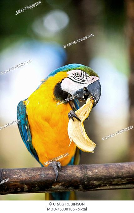 Blue and yellow Macaw eating banana, Boracay, Philippines