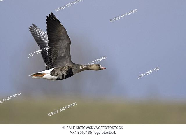 White-fronted Goose ( Anser albifrons ), in flight, flying along a dyke in its winter territory, nice light and colours, wildlife, Europe