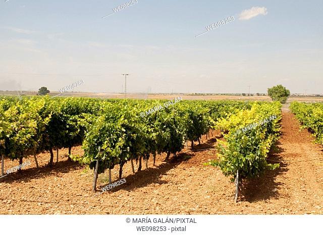 Vineyard. Tarazona de La Mancha, Albacete province, Castilla La Mancha, Spain