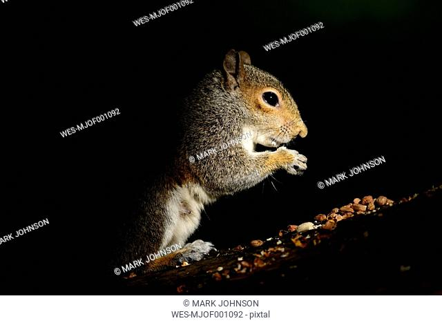 Eating Grey Squirrel in front of black background