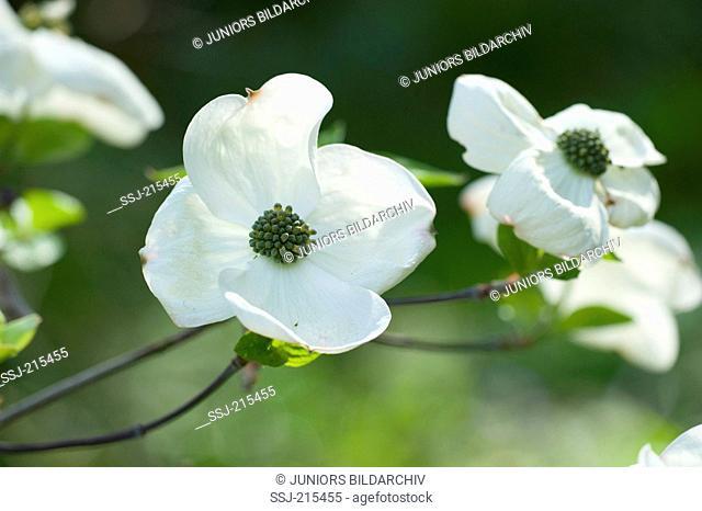 Pacific Dogwood (Cornus (nuttallii Ascona), flowers