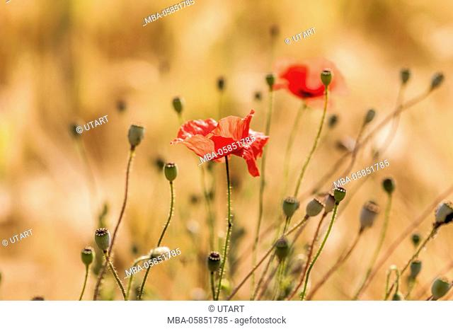 Poppies in the grain field, midsummer, golden light and igneous colours
