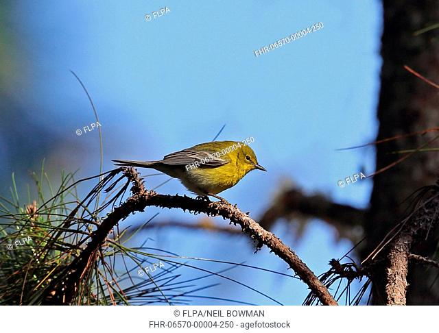 Pine Warbler (Dendroica pinus chrysoleuca) adult, perched on pine twig, Bahoruco Mountains N.P., Dominican Republic, January