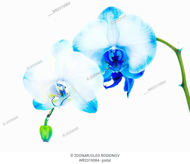 Real blue orchid arrangement centerpiece isolated