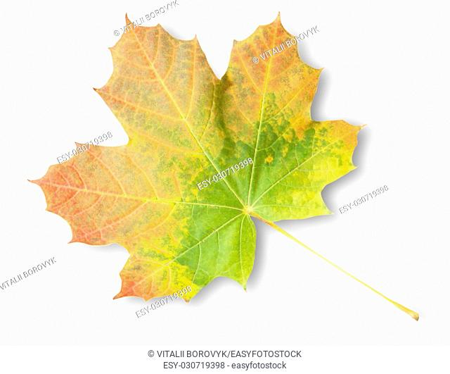 Multicolored Autumn Maple Leaf Isolated On White Background