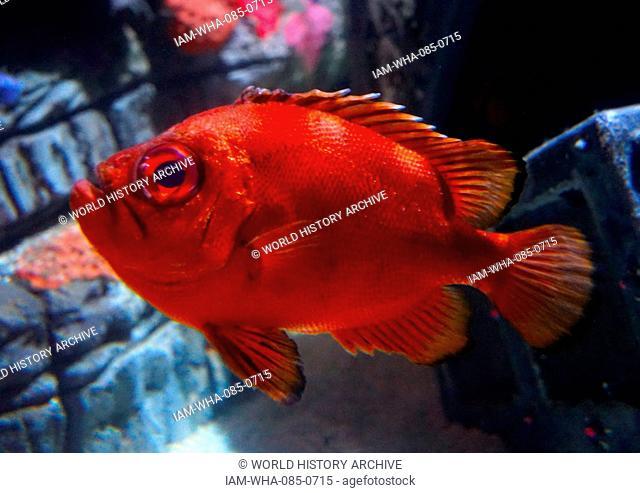 Bigeye or Popeye catalufa (Pristigenys serrula) fish, from the eastern Pacific. It occasionally makes its way into the aquarium trade