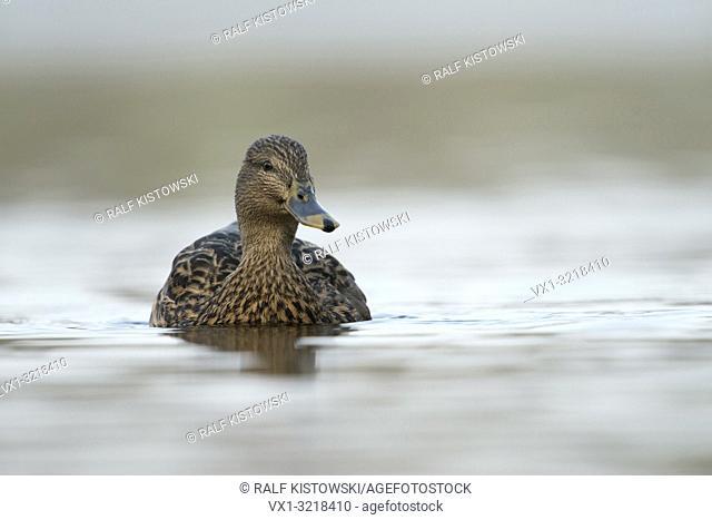 Mallard / Wild Duck / Stockente ( Anas platyrhynchos ), female, close up, swimming, frontal low point of view