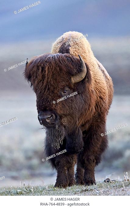 Bison (Bison bison) bull in the spring, Yellowstone National Park, UNESCO World Heritage Site, Wyoming, United States of America, North America