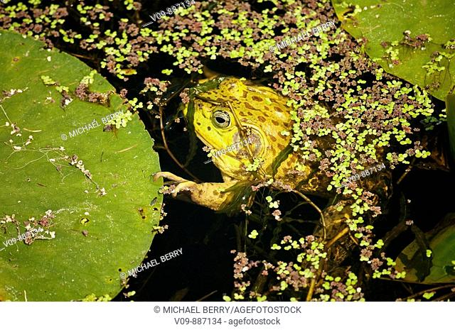 Bullfrog and water Lily