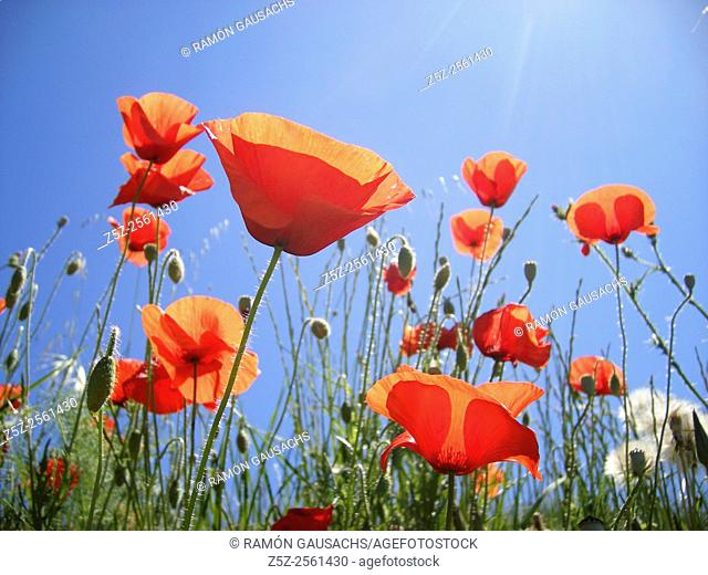 Field Poppy (Papaver rhoeas)